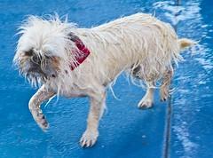 Dignity asserted (Paul L Dineen) Tags: dog water pool animal ball fun lastday swimmingpool phoebe claudia tennisball gladys waterdog poochplunge phoebegladysclaudia phoebegladys phoebeclaudia gladysclaudia gladysclaudiaphoebe claudiaphoebegladys smnotchecked