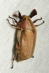 Scarab Beetle (Melolonthidae, Scarabaeidae) (John Horstman (itchydogimages, SINOBUG)) Tags: china brown macro insect beetle yunnan onwhite trap scarab coleoptera scarabaeidae melolonthidae itchydogimages sinobug
