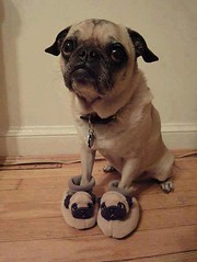 Great shoes (Dona Mincia) Tags: dog cute art co animal funny humor cachorro greatshoes fofo tenderness sapato chinelo divertido gracinha