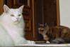 Miss White and Potsie.jpeg (digonedd) Tags: cats pets whitecats elementsorganizer