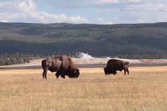 Bison in Yellowstone (rdhphotos) Tags: yellowstone wyoming geyser bison