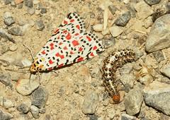 Utetheisa pulchella (alcedofoto.) Tags:
