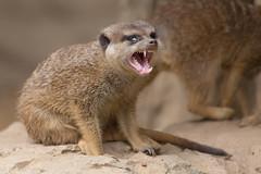 Predator (Thomas Frejek) Tags: deutschland meerkat osnabrck suricatasuricatta erdmnnchen niedersachsen 2013 zooosnabrck
