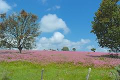 SAM_0875 (daviddontdance) Tags: sanfrancisco pink flower de mexico jalisco sierra quila 2013 sierradequila