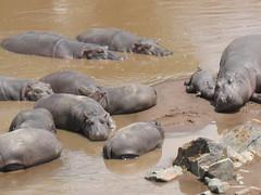 Cuddling (aaron.knox) Tags: africa sleeping animals river nationalpark kenya wildlife group safari mara hippo resting hippopotamus maasaimara marariver kenya2013
