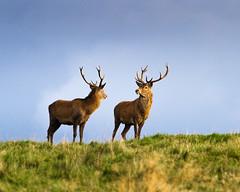 Red Deer - evening light (week 41) (Wilco1954) Tags: england peakdistrict deer reddeer eveninglight rut cerf brame