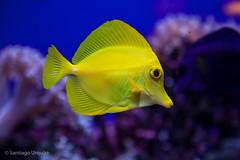 20120811_16 (Zalacain) Tags: fish aquarium spain colorful finisterrae