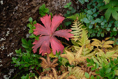 01_09_2007_0052 (andysuttonphotography) Tags: red plants fern yellow leaf vegetation thingvellir bilberry