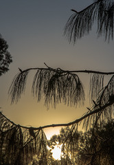 Before dark, Peru (Peraion) Tags: sunset sky tree peru southamerica leaves yellow needles