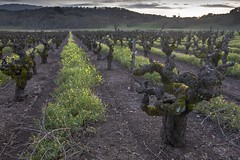 Old Vines (Tom Moyer Photography) Tags: california vineyard vines sonomacounty winecountry