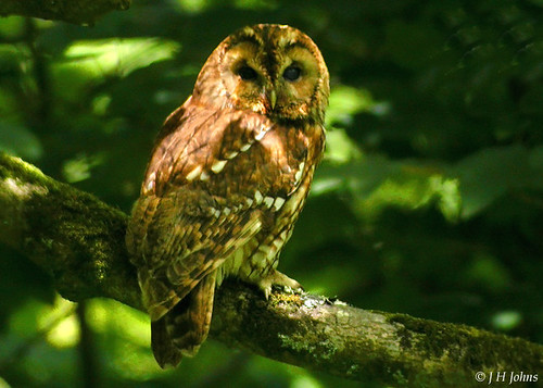 "Tawny Owl (J H Johns) • <a style=""font-size:0.8em;"" href=""https://www.flickr.com/photos/30837261@N07/10723259973/"" target=""_blank"">View on Flickr</a>"