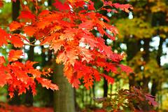 So schön kann der Herbst sein (Karabelso) Tags: autumn trees red oktober rot fall leaves forest sony laub herbst wald baum