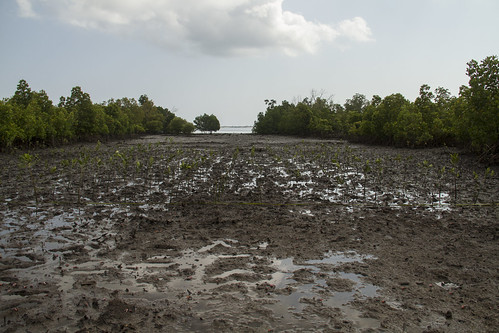 Area cleared of mangroves with new seedlings replanted in Bagamoyo, Tanzania. Photo by Samuel Stacey, 2013.