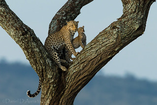 Leaping Leopards 3960