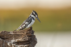 KD7C6957 copy (rtsteck) Tags: africa kingfisher namibia piedkingfisher choberiver cerylerudis zambeziriver impalilaisland