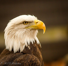 Regal Eagle!   Sorry...it had to be done! (Rick Smotherman) Tags: morning november autumn nature birds canon outdoors morninglight day eagle cloudy wildlife overcast 7d cloudysky canon300mmf4l missouribirds canon7d