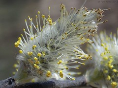 American Willow - Salix discolor (Fyn Kynd) Tags: flower macro tree nature photography nikon maine newengland willow salix salixdiscolor americanwillow nikoncoolpixl810 vision:outdoor=0623 vision:plant=0781