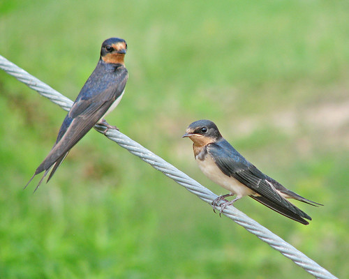 Barn swallows at rest