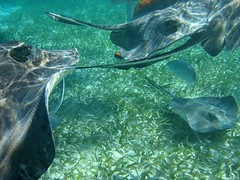 (marcwiz2012) Tags: water underwater crystal stingray many belize clear snorkelling lots multitude centralamerica cayecaulker alotof