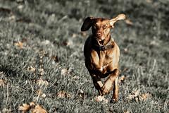 Layla aktiv (gutlaunefotos ☮) Tags: vizsla hund magyar layla