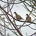 Mourning Dove pair in Winter. Photo: Dan Denney, Ogdensburg, NY.