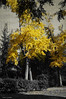 otoño en Barcelona (jacobo_gonzalez_castrodeza) Tags: barcelona city trees bw textura blancoynegro colors contrast 50mm nikon autum bcn colores contraste otoño yelow jacobo d40 rememberthatmoment rememberthatmomentlevel1