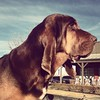 Check out this handsome fellow!  What a sweetie.  #bloodhound #dog #gorgeous (rspence1270) Tags: dog square handsome filter squareformat brannan bloodhound jowls iphoneography instagramapp