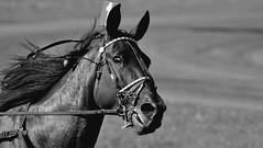 Hiiiiii. (Gilles Meunier photo) Tags: horse cheval