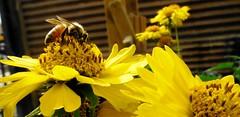 """Trabajo en el Micromundo""... Foto:El Lemus (El Lemus) Tags: california flowers abejas naturaleza flores yellow america work mexico fly wings bees natura el bee honey miel baja abeja job mundo mexicali colmena lemus"