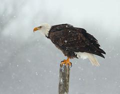 Bald Eagle (a56jewell) Tags: snow ontario baldeagle simcoe winterjan a56jewell
