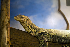 "Monitor Lizard 01 • <a style=""font-size:0.8em;"" href=""http://www.flickr.com/photos/30765416@N06/12160051383/"" target=""_blank"">View on Flickr</a>"