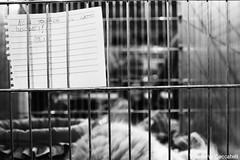 _MG_7525+ copia (Valentina Ceccatelli) Tags: mostra cats pets white black cat canon eos kitten feline gare january competition exhibition tuscany 7d felini gatto prato gatti gennaio valentina micio gara mici 2014 cuccioli gattini palazzetto maliseti ceccatelli valentinaceccatelli estraforum