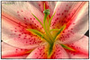 A Beautiful Lily (Sharon Emma Photography) Tags: flowers plants love beautiful petals flora nikon lily blossoms 85mm style romance stamens gift micro present buds bouquet blooms nikkor lilium stigma smells filament flowerarrangement scented floras tepal 85mmlens d7100 pickflowers nikonafsdxmicronikkor85mmf35gedvr nikond7100 sharondowphotography