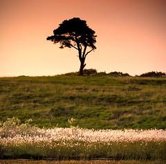 Lone Tree (Photo Gal 2009) Tags: sunset tree silhouette landscape treesilhouette lonetree treelandscape landscapeengland landscapeuk summer2013