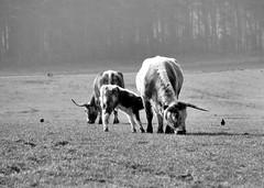 Old English Longhorns (saxonfenken) Tags: blackandwhite animal misty cows thumbsup bovine perpetual notts 6969 gamewinner thorsby challengeyou favescontestwinner yourockwinner agcgwinner herowinner agcgmegachallengewinner storybookwinner pregamewinner favescontestfavored 6969animal