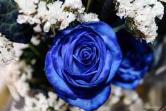 rosa azul (Edwin.1997) Tags: blue roses de y para negro una alemania todo tu rosas ramo fondo regalo castillo carta edwin nada malo amazonas azules amada salazar verdecora mesnada acompaalo