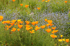 Fields of Gold (gripspix) Tags: flower forgetmenot blume californianpoppy vergissmeinnicht goldmohn escholziacalifornica 20140522