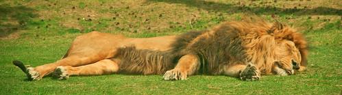 Panthera Leo - Lazy Lion - Luie leeuw