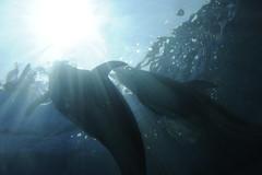 20140428 Notojima Aquarium 2 (BONGURI) Tags: aquarium nikon イルカ 海豚 水族館 nanao ishikawa 石川 dorphin のとじま水族館 七尾 d3s afszoomnikkor2470mmf28ged notojimaaquarium