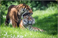 A little nibble...   (Explored 6/6/2014) (Smudge 9000) Tags: summer zoo tiger howletts 2014