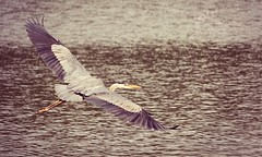 Just Passing By (~ Lauren ~) Tags: blue wild summer lake ontario canada bird heron nature water beautiful flying is wildlife great flight here ripples breeze majestic graceful avian glide