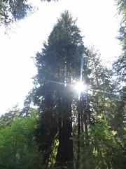 IMG_0849 (rnjacobs) Tags: washington olympicmountains hugetree