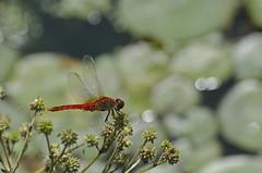 Hamyang Dragonfly (doug-craig) Tags: nature asia wildlife stock southkorea