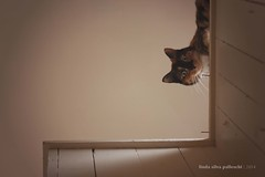 192.365 | parker looks down/i look up (sidemtess | linda) Tags: cat kitten chat tortoiseshell gato tortie 365 gatto parker 50mmf14 2014 canon60d 192365 sidemtess thelittledoglaughedportraits parkerposeypalleschi