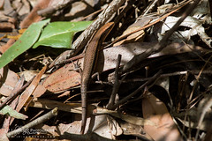 Robust Rainbow-Skink (J.P. Lawrence Photography) Tags: 2016 australia2016 spring2016 travel australia carlia carliaschmeltzii herp herpetology herps lacertilia lizard lizards queensland reptiles reptile reptilia robustrainbowskink sauria scincidae squamata skink springbrook springbrooknationalpark squamates vertebrates vertebrata vertebrate
