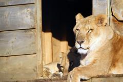 2011-02-06 Tarzan and Lions (14)