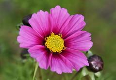 DSC_3206 (PeaTJay) Tags: nikond750 reading lowerearley berkshire macro micro closeups gardens outdoors nature flora fauna plants flowers