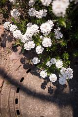 circles (joeranm) Tags: nikon nikond600 d600 fx sigma sigmaart 24mm 2414 wideanglelenses flower sidewalk