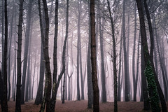 Woods and fog (Luis Marina) Tags: bosque familia liencres troncos fog niebla wood woods pine pinos forest landscape cantabria spain autumn otoo 35mm nikon