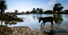Horses and a pond on the way from Jaisalmer to Khuri, India (inchiki tour) Tags: travel photo india asia     rajasthan   hotelpleasanthaveli  tour daytrip   horse pond   water animal